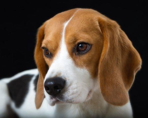 Собака бигль описание породы характер