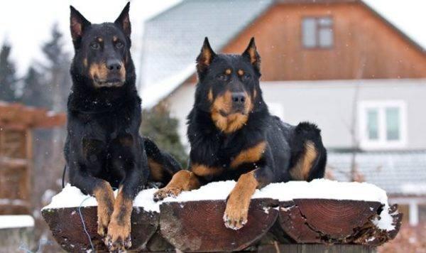 Босерон собака