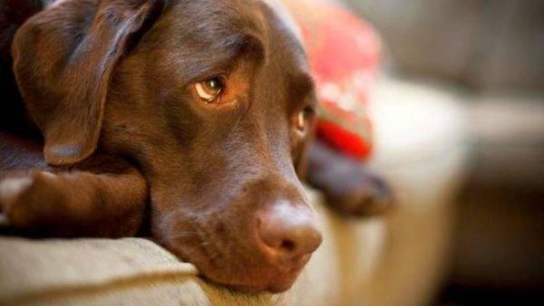 Эндометрит у собаки симптомы и лечение