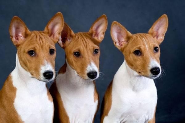 Выбор щенка басенджи
