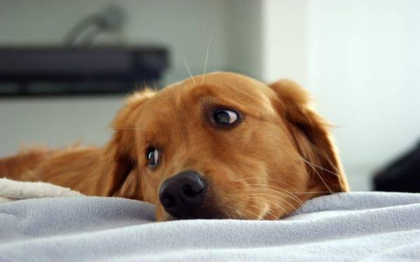 Симптомы эндометрита у собак
