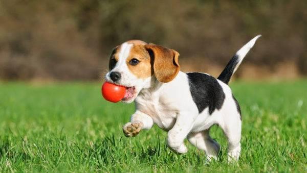 бигль собака фото взрослой собаки черно белый
