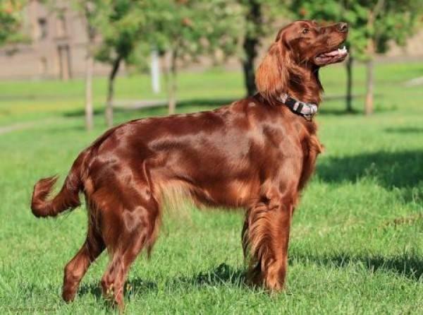 Порода собак ирландский сеттер
