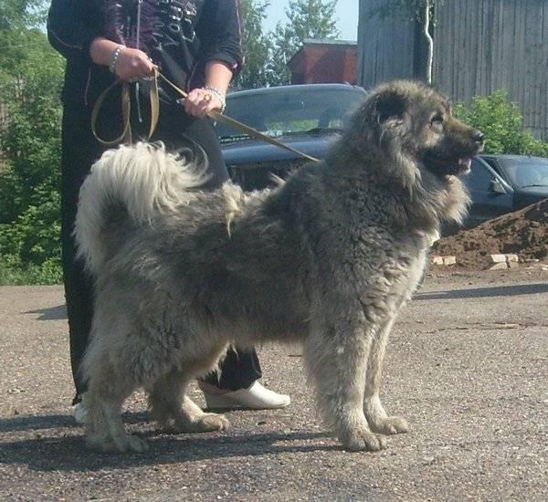 Серая кавказская овчарка