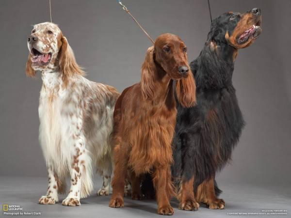 Собаки ирландского сеттера