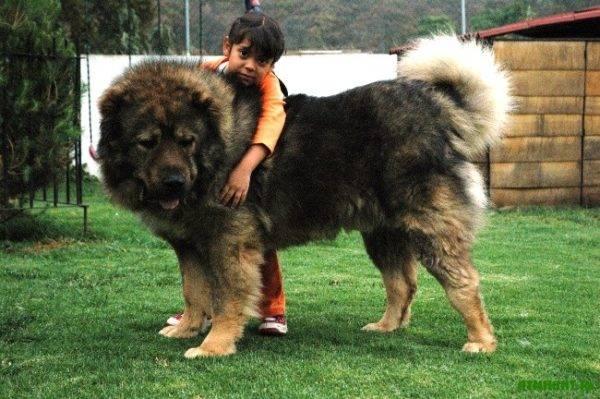 Внешний вид кавказской овчарки