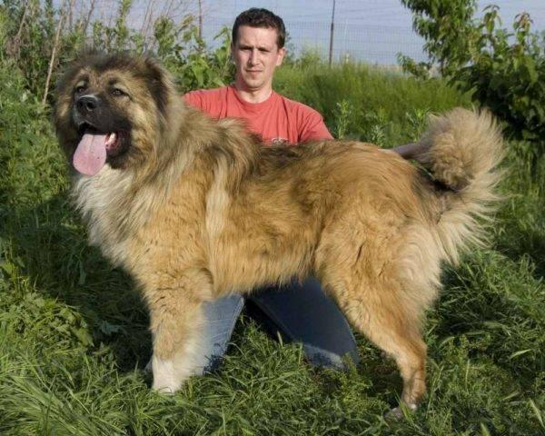 Как воспитывать кавказскую овчарку