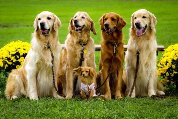 Семья золотистого ретривера