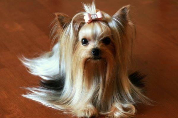 йорк фото собака фото цена