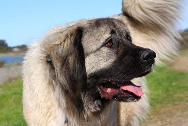 Красивая кавказская овчарка