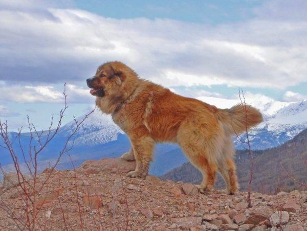 Кавказская овчарка на горе