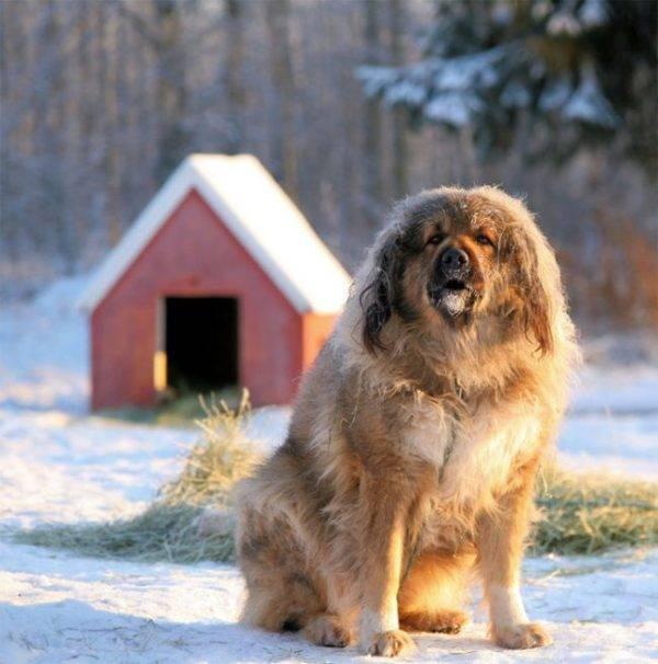 Кавказская овчарка у дома