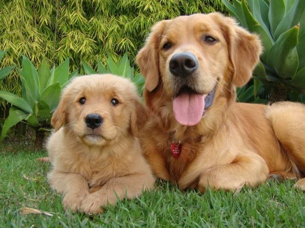 Золотистый ретривер с щенком