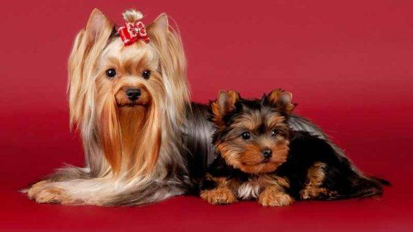 Йоркширский терьер с щенком