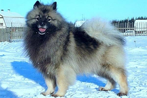 Кеесхонд: фото собаки, цена, описание породы, характер, видео