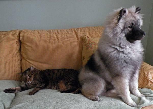 Кеесхонд с кошкой