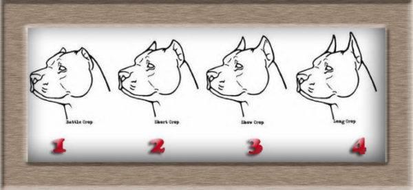 4 вида купирования ушей у собак