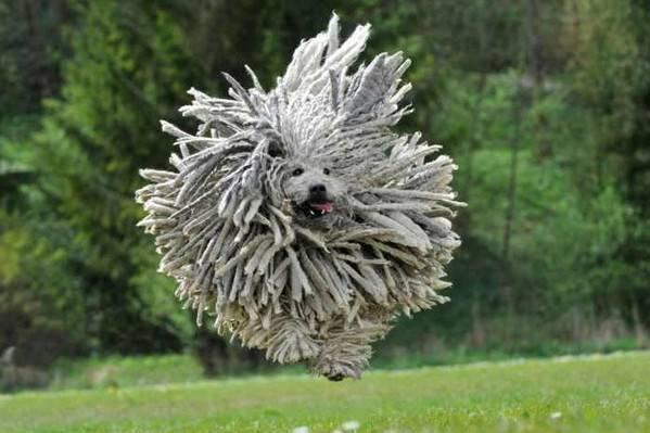 895b9c85e84d Комондор: фото собаки, цена, описание породы, характер, видео