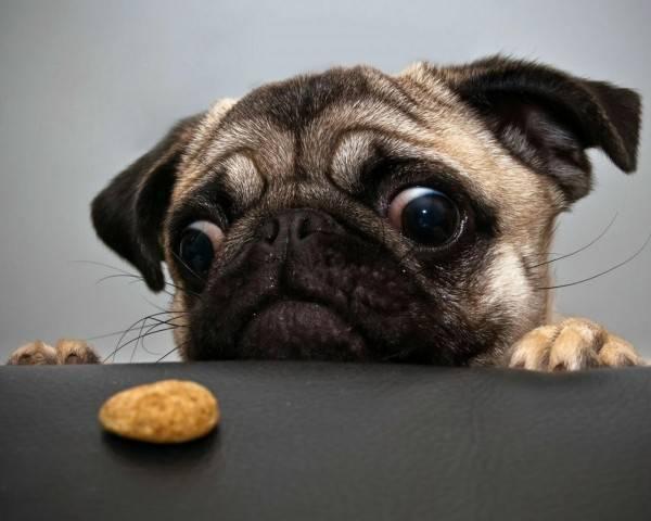 Мопс хочет есть