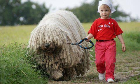 Обучение венгерских овчарок
