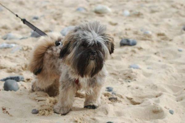 Лхаса апсо на пляже