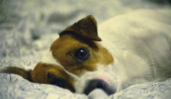 Симптомы асцита у собак