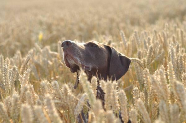 Курцхаар в поле