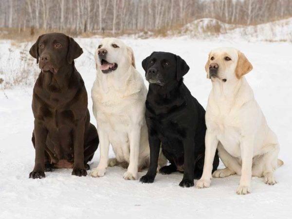 Собаки лабрадора ретривера