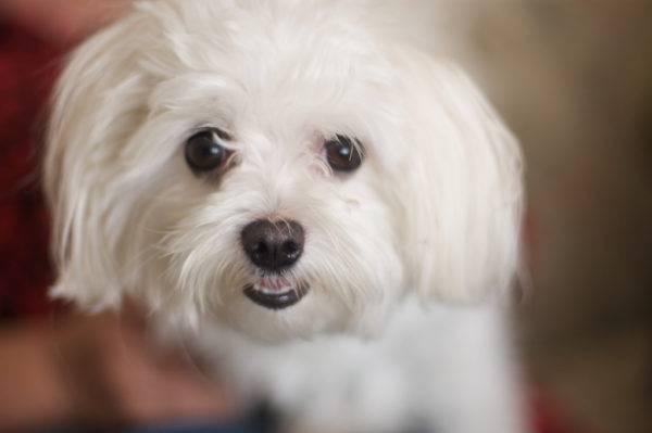 Собака мальтийская болонка