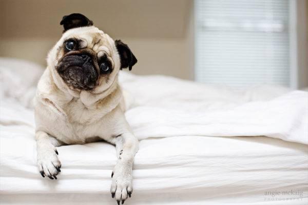 Мопс на кровати