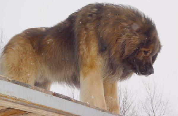 Леонбергер на крыше
