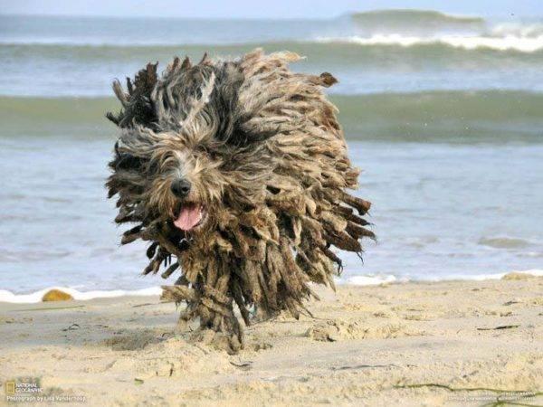 Комондор на пляже