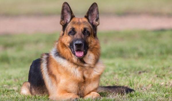 собаки фото овчарки немецкой