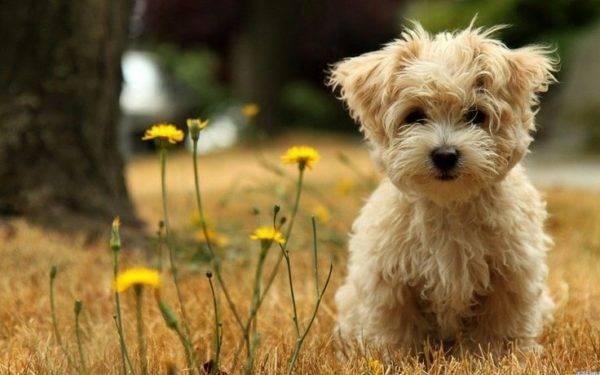 Собака не вызывающая аллергию