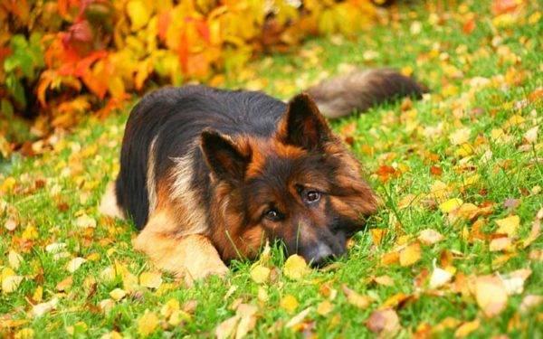 Немецкая овчарка в листве