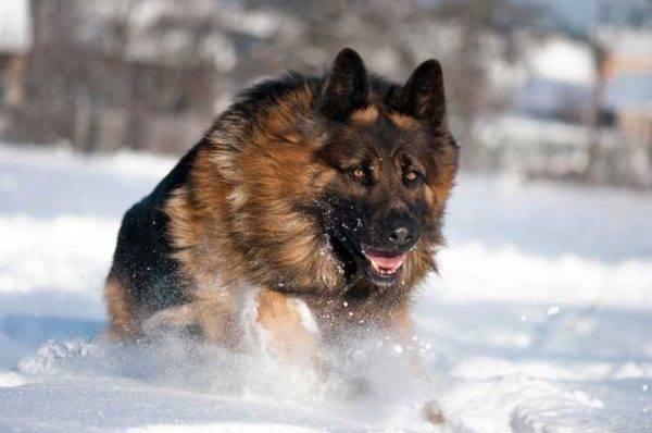 Немецкая овчарка в снегу