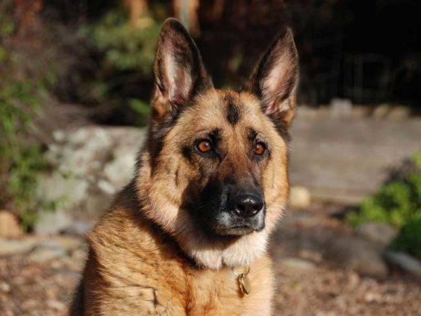 Немецкая овчарка: фото собаки, цена, описание породы, характер, видео