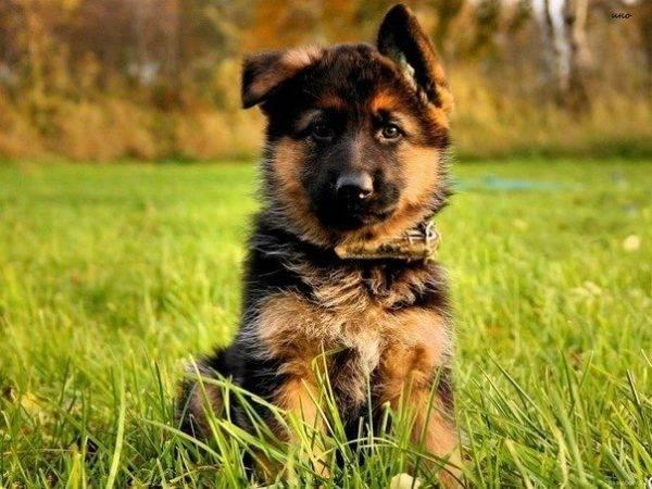 овчарка собака фото
