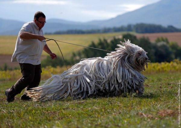 Собака с дредами комондор