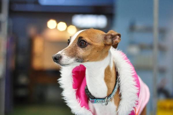 Левретка: фото собаки, цена, описание породы, характер, видео