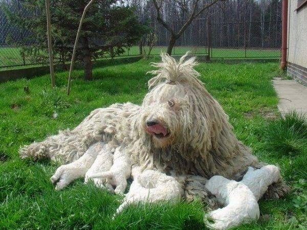 Комондор с щенками