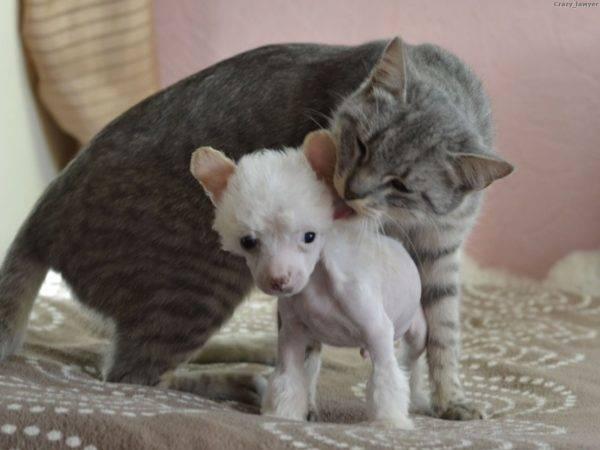 Китайская хохлатая с кошкой