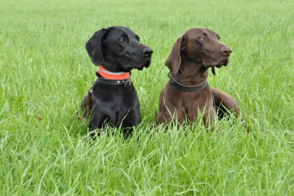 Однотонный черный и коричневый курцхаар