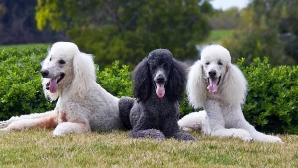 Пудель: фото собаки, цена, описание породы, характер, видео