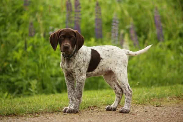 щенок пойнтер