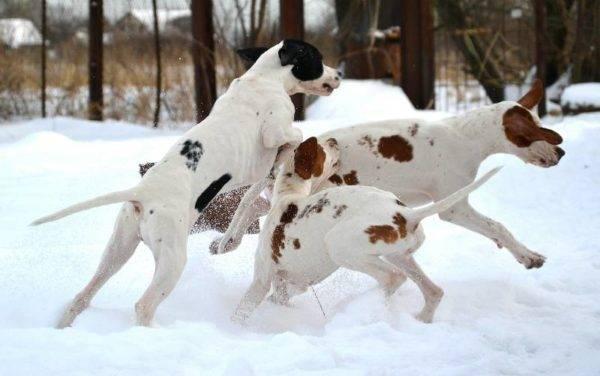 пойнтеры играют на снегу