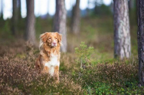 новошотландский ретривер в лесу