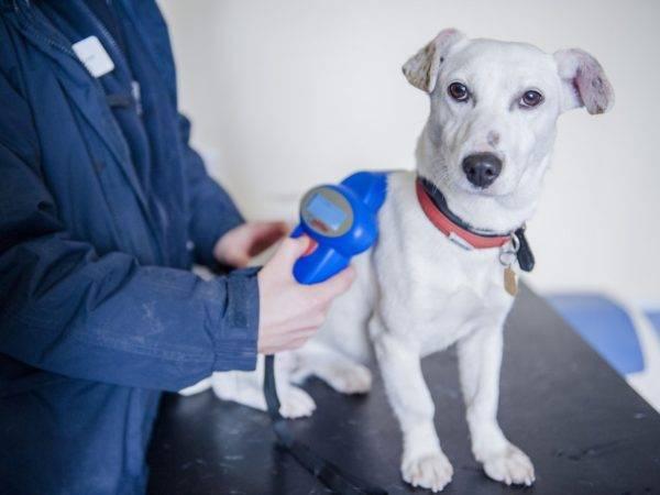 чипирование чёрно-белой собаки