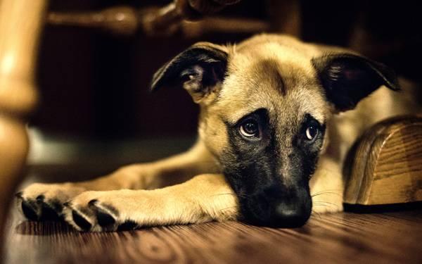 грустная собачка лежит на полу