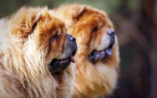 Чау-чау: фото собаки, цена, описание породы, характер, видео